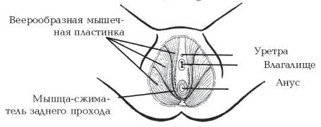 медицинское объяснение почему расстояние между влагалищем и анусом